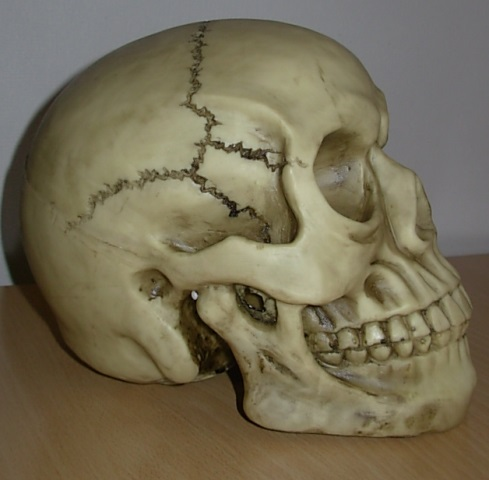 Poly resin life size skull