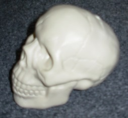 Side view small skull